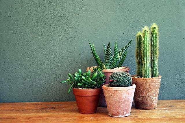 Cactus planten