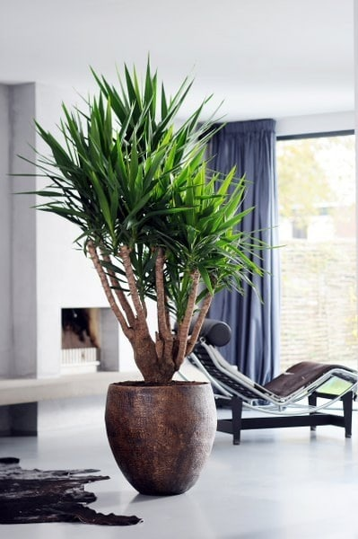Grote kamerplanten for Grote planten voor binnen