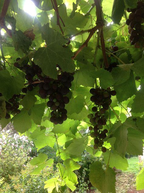 druiven 5