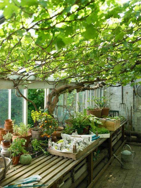 Druivenrek bij terras