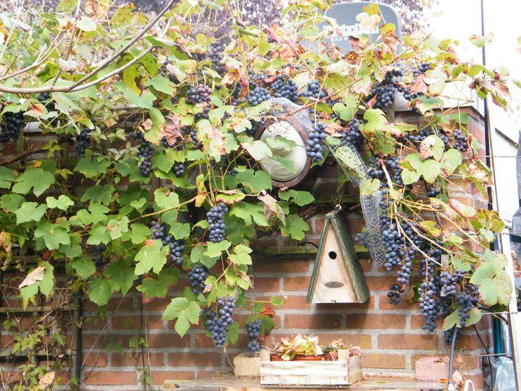 druiven4